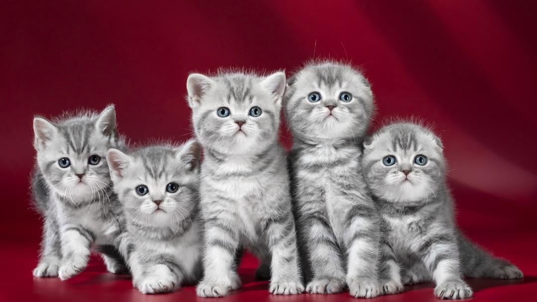 Scottish Fold Kittens Valpets Pet Store In Los Angeles