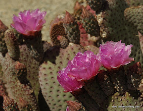 Photo: Beavertail cactus blossoms; Anza Borrego Desert State Park