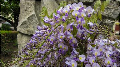Photo: Glicina (Wisteria sinensis) - din Turda, Parcul Catedralei - 2019.04.30