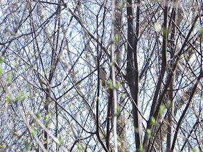 Photo: Blue-gray Gnatcatcher
