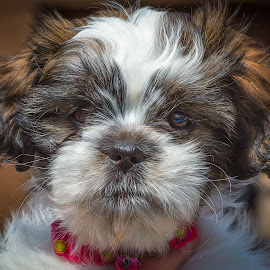 Buttons by Dave Lipchen - Animals - Dogs Portraits ( shih tzu )