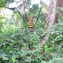 Golden orb-weaver, giant wood spider, or banana spider