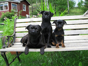 Photo: Elton with Harley and Stella as pups 2008