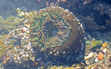 Photo: 211. Here's a giant green anemone from one of those tidepools.