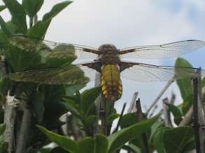 Photo: Broad bodied chaser (female) 6 June 2015 © G. Pewtress 2015