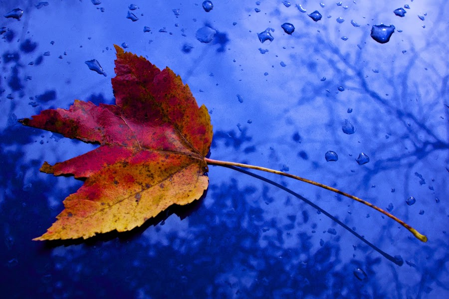 Leaf by James Green - Abstract Fine Art ( reflection, red, blue, color, fall, rain )