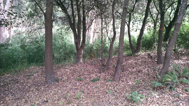 Photo: Looking onto the eucalyptus grove from the native oak stand next to it.