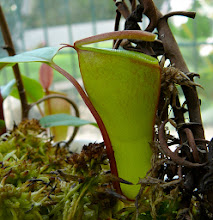 Photo: Nepenthes dubia