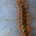 Salt Marsh Tiger Moth (larva)