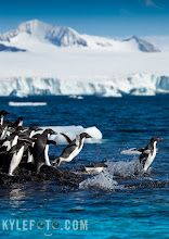 Photo: These Adélies were hilarious to watch. Penguins always enter the water with great trepidation, and for a good reason too, predators like the leopard seal could be lurking nearby for a meal.   With this in mind no penguin wants to be the first in the water, they bunch up towards the shore until finally one gives into the pressure and they all dive in at once in a complete panic. Shot in portrait to include the beautiful Antarctic scenery.