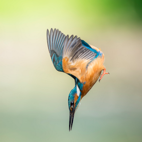 kingfisher by Riccardo Trevisani - Animals Birds ( trevisani, wild, riccardo, arrow, kingfisher, wildlife )