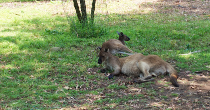 Photo: Throughout the park, the exhibits are primarily open, so you'r able to get quite close to the wildlife. These kangaroos couldn't have cared less that we were there! Haha!