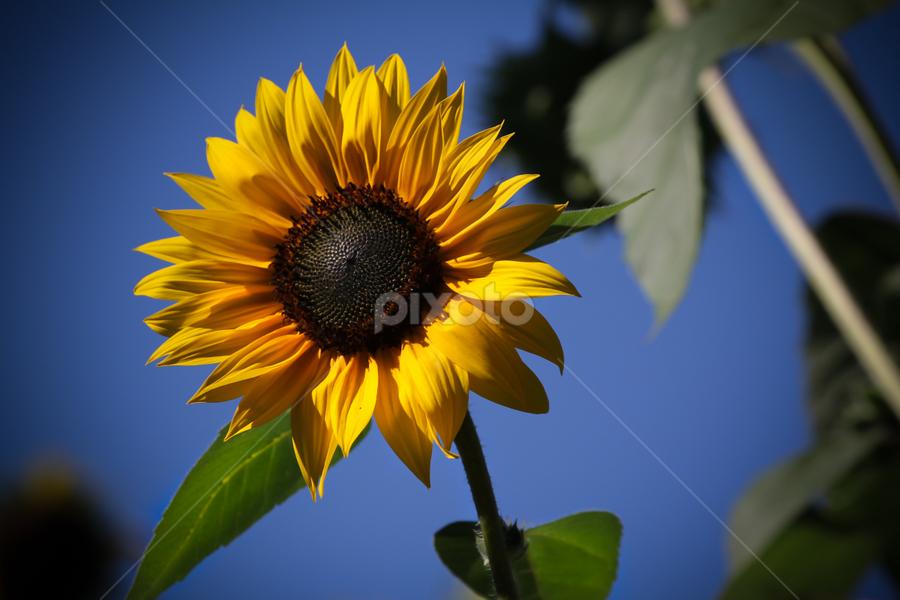 Sun Sun Sunflower by Cristina Casati - Nature Up Close Flowers - 2011-2013