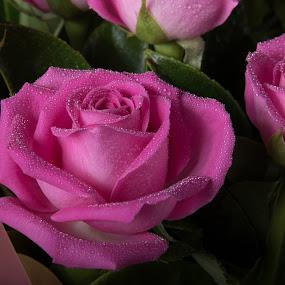 Pink Rose 2 by Simon Hall - Flowers Flower Arangements (  )