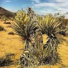 Photo: Yucca schiderga near Hondo Wash