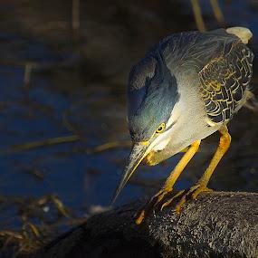 Green-backed Heron by Johann Fouche - Animals Birds ( bird, aquatic birds, lighting, nature, heron,  )