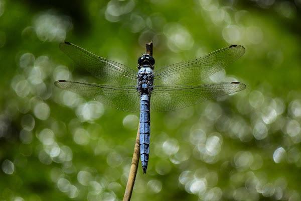 La mia libellula di Bibanto
