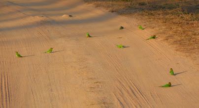 Photo: The little Bee Eaters in their numbers having an evening dust bath - quite enchanting.