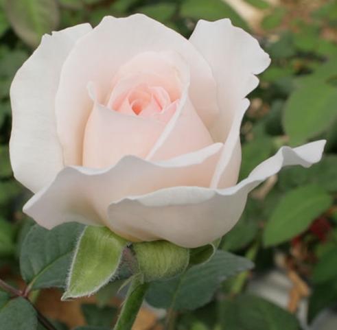 """Một đóa hoa hồng Yves Wishing.<a href=""""https://www.vuonhongvanloan.com/giong-hoa-hong-tai-sa-dec/hoa-hong-nude-sa-dec.html"""">Hồng Nude Sa Đéc</a> có đôi nét giống với giống hoa hồng này"""