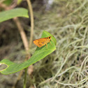 Common Dartlet