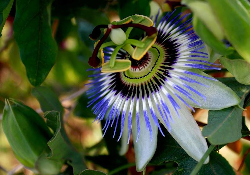 Il fiore della passione di ariosa