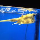 Longhorn cow fish  Box fish