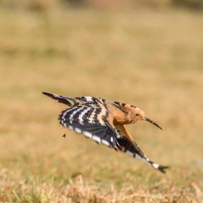 Flying Beauty by Suman Basak - Animals Birds ( bird, flight, grass, sunny, wildlife, fast )