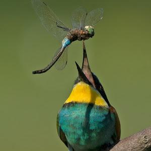 D:\01 GALERIJA FOTO\01 ptice\Čebelar - Rumenogrli čebelar - Merops apiaster\pixoto 2015\Merops-apiaster-168.jpg
