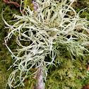 Farinose cartilage lichen