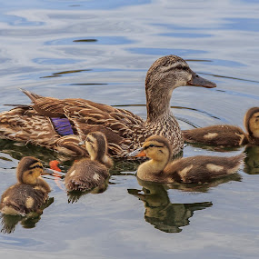 Female Mallard with Ducklings by Jeff McVoy - Animals Birds ( babies, water fowl, fowl, duckling, mallard, family, duck,  )