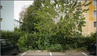 Photo: Arțar tătăresc (Acer tataricum) - de pe Str. Rapsodiei, intre blocuri - 2016.10.08