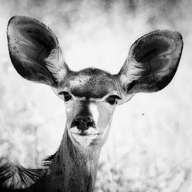 Kudu at Erindi in Namibia  by Lorraine Bettex - Black & White Animals (  )