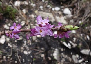 Photo: Liliacul salbatic cu aroma sa delicata