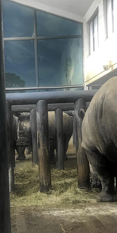 African white rhinos are confined to paddocks at Jinan Zoo, one of China's largest wildlife enclosures.