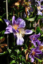 Photo: Clematis 'Blue River' diversifolia group closeup