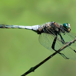 Blue dragonfly by Janez Podnar - Animals Insects & Spiders (  )
