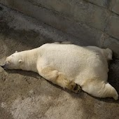 Polar Bears wallpaper