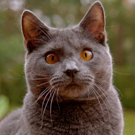 by Serge Ostrogradsky - Animals - Cats Portraits