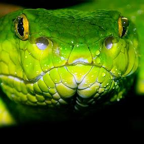 White-lipped Tree Viper by Gavin Falck - Animals Reptiles ( white-lipped tree viper, nature, gavin falck, reptile, animal, color, colors, landscape, portrait, object, filter forge,  )