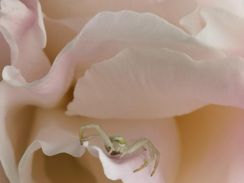 Ragno tra petali di peonia di patsie_1506
