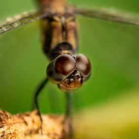 Dragonfly by Soyam Chhatrapati - Animals Insects & Spiders ( macro, macrophotography, dragon fly, micro, macro photography, dragonfly )