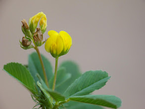 Photo: Medicago sp