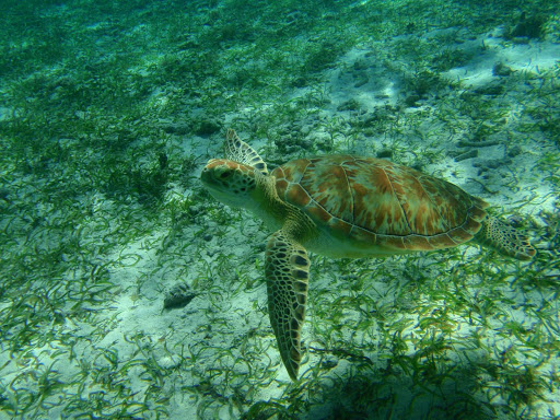 Belize-sea-turtle.jpg - A sea turtle off the coast of Belize.
