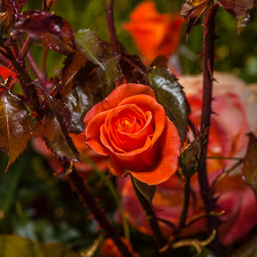 Natural Beauty by Muzo Gul - Nature Up Close Flowers - 2011-2013 ( orange, nature, roses, gardens, flowers )