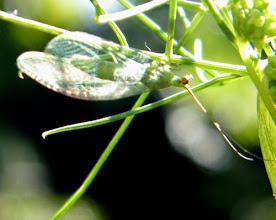 Photo: CHRYSOPE ou demoiselle, ou hémérobe aux yeux d'or. Alliée du jardinier car elle dévore les pucerons. En contre-jour sur un plant d'aneth.