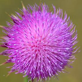 Thistle by Lyn Daniels - Flowers Single Flower (  )