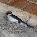 Ethiopian Swallow