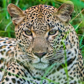 Leopard by Peter Schoeman - Animals Lions, Tigers & Big Cats ( fur, danger, realistic, white, leopard portrait, golden, hunter, africa, leopard animal, natural, leopard fur, brown, coat, leopard, background, spot, carnivore, animal, looking, panther, leopard africa, leopard face, leopard head, safari, pattern, skin, leopard eyes, hair, leopard cat, mammal, cat, repeat, exotic, camouflage, furry, wildlife, dots, nature, predator, texture, black, abstract, portrait, leopard eye, orange, print, powerful, detailed, african, wild )