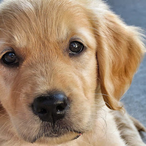 Sweetness by Cindy Taverne - Animals - Dogs Puppies ( retriever, puppy, golden,  )