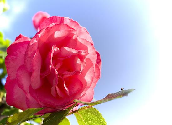 la rosa e la mosca di Sebastiano Pieri